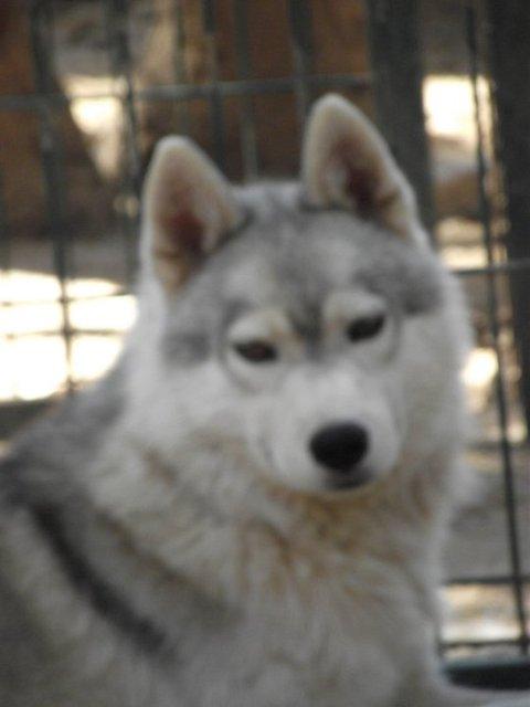SOS pour 13 Huskies dans un élevage insalubre: Espagne A ADOPTER Esp210