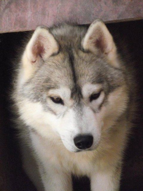 SOS pour 13 Huskies dans un élevage insalubre: Espagne A ADOPTER Esp310