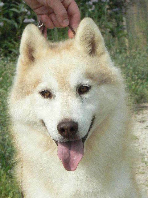 SOS pour 13 Huskies dans un élevage insalubre: Espagne A ADOPTER Esp411