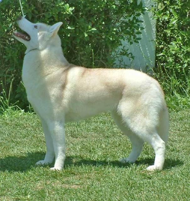 SOS pour 13 Huskies dans un élevage insalubre: Espagne A ADOPTER Esp910