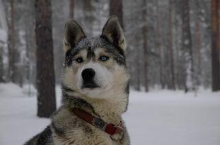 Perdu Golja, mâle gris et blanc aux yeux bleus Golja10