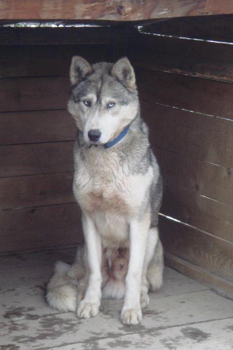 Perdu Golja, mâle gris et blanc aux yeux bleus Isa10