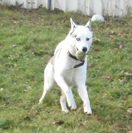 Layka husky (f) née 11/2011/ REF:67 Layka-13