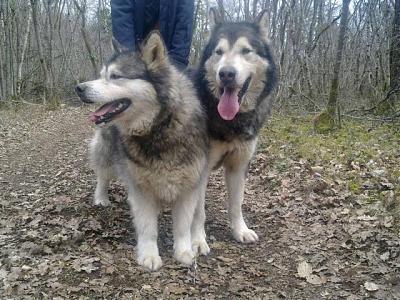 Troïka (10 ans) et Slide (11 ans) couple de malamutes dans un enclos (21)  Mala11