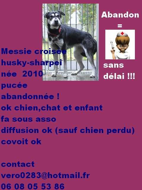 Messie croisée husky-sharpei -1 an (f)- fourrière - 62EUTHANASIE VENDREDI PLUS DE DELAI Messie11