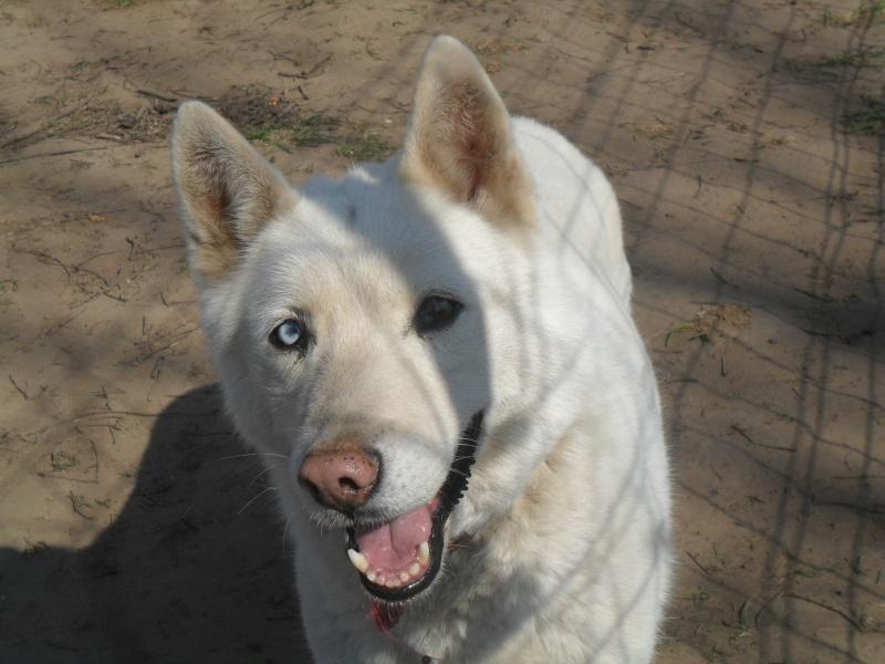 Orca, Husky, âgée de 14 ans née 20 Décembre 2000,  Eden Valley  ASSO39 Orca610