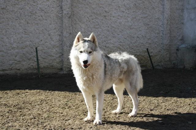 Husky perdu en Auvergne RETROUVE Sangok10