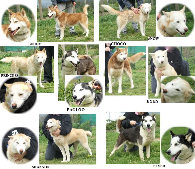 6 huskies à adopter dept 85 Taiga110