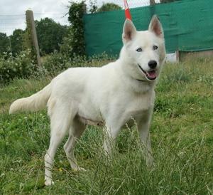 6 huskies à adopter dept 85 Tekila10