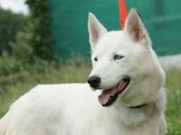 6 huskies à adopter dept 85 Tekila11