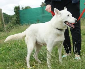 6 huskies à adopter dept 85 Tekila12