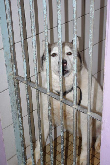 TIT LOOV & PESSE - Husky 9 & 11 ans abandon REF:62  DECEDES Titlov10