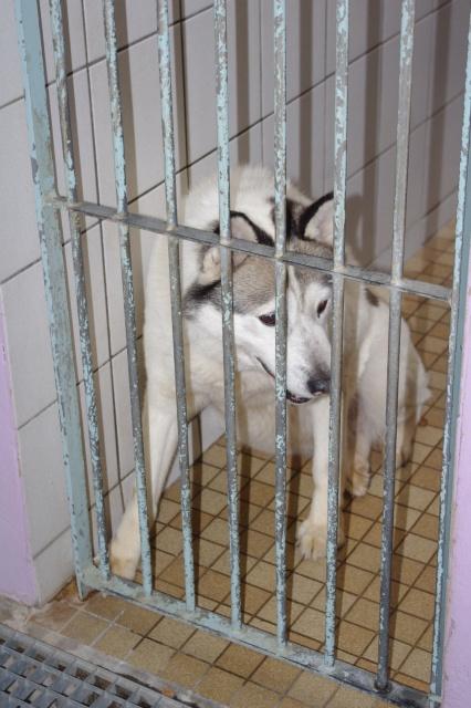 TIT LOOV & PESSE - Husky 9 & 11 ans abandon REF:62  DECEDES Titlov11