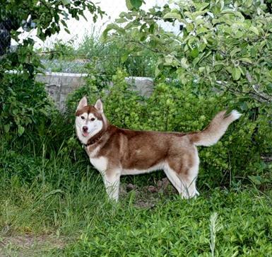 Vivi husky perdue le 07/07/11 marron-blanc (Torcy 77200) Vivi10