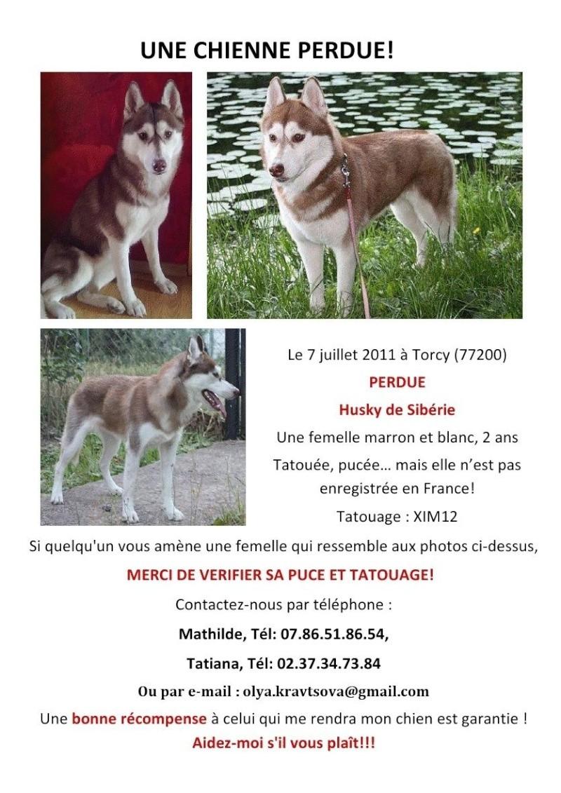 Vivi husky perdue le 07/07/11 marron-blanc (Torcy 77200) Vivi11