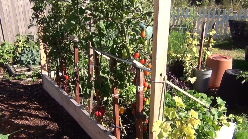 Single Stem Tomatoes 20110910