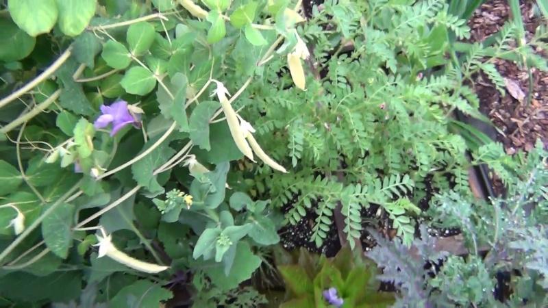 FRIDAY'S ROOKIE TOPIC XV, KOHLRABI  Garden10