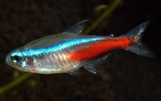 renseignement sur le choix d'une population dans un aquarium de 200 L Parach10
