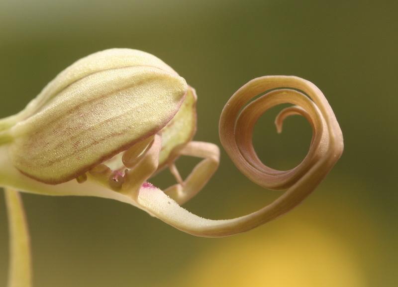 Etrange habitante de la prairie - Orchis bouc - Himantoglossum hircinum (L.) Spreng. Orchis10