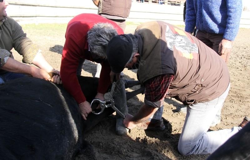 Bistournage Manade RAYNAUD  26-11-2011 Bistou13