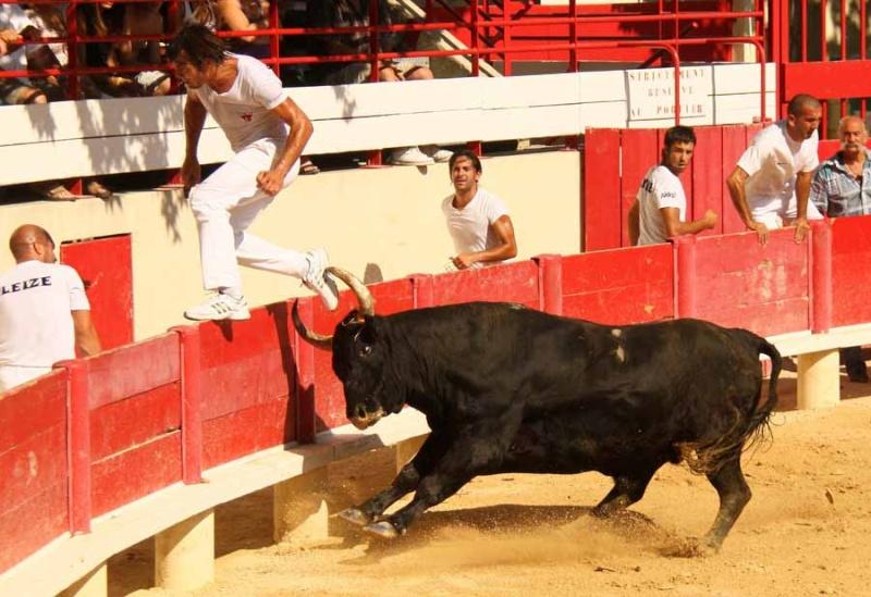 LANSARGUES  Concours de Manades  17-08-2011 Course15