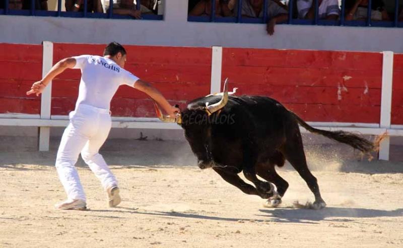 Grau du Roi  Taureaux Jeunes  12-09-2011 Course32