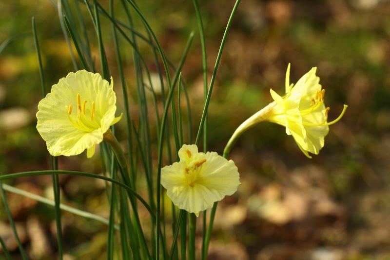 Narcissus romeuxii Img_2613