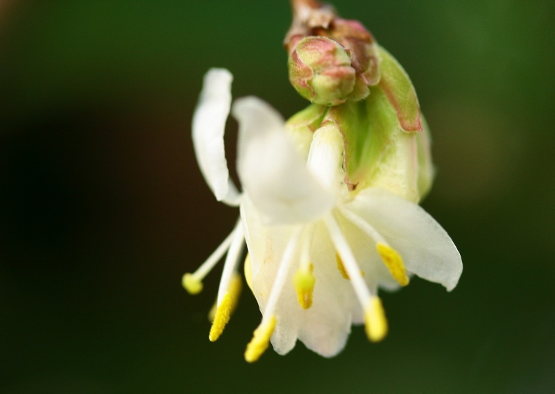 ça commence a fleurir...(Mimosa, Acacia dealbata) - Page 2 Img_2617