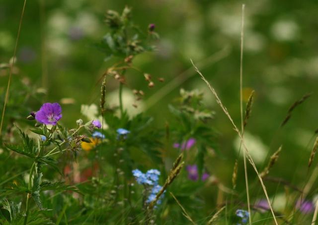 L'un des plus grand et plus beau jardin ... sur les pentes du Lautaret et du Galibier ! Img_4513