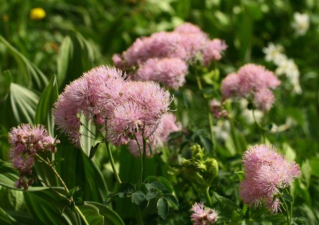 L'un des plus grand et plus beau jardin ... sur les pentes du Lautaret et du Galibier ! Img_4514