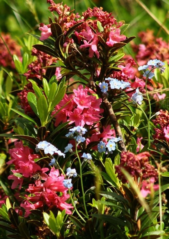 L'un des plus grand et plus beau jardin ... sur les pentes du Lautaret et du Galibier ! Img_4516