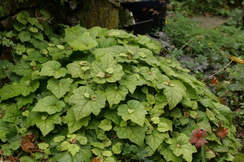Tolmiea ou la plante poule et ses poussins ! Img_7011