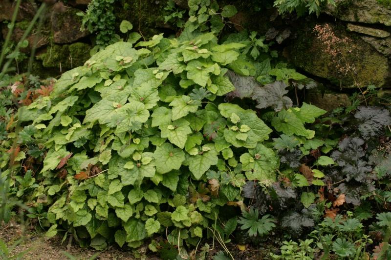 Tolmiea ou la plante poule et ses poussins ! Img_7012
