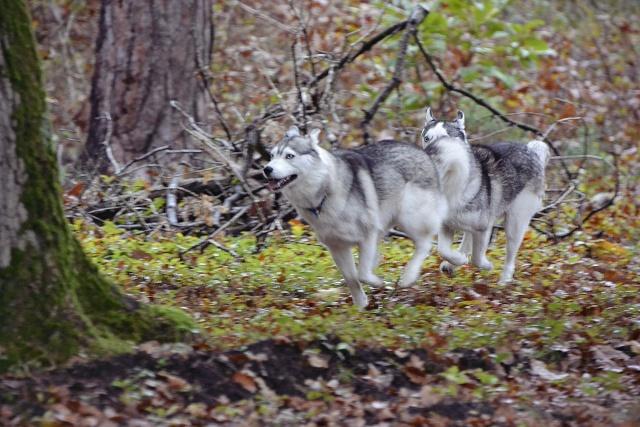 mes louves en forêt Automn11