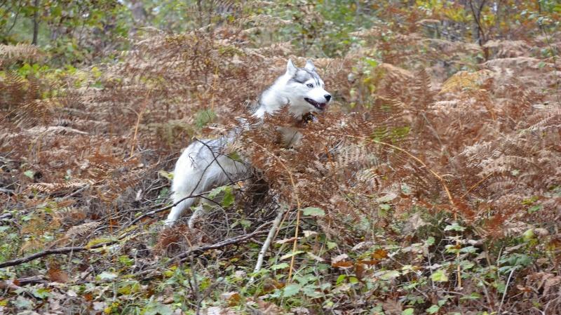 mes louves en forêt Automn12