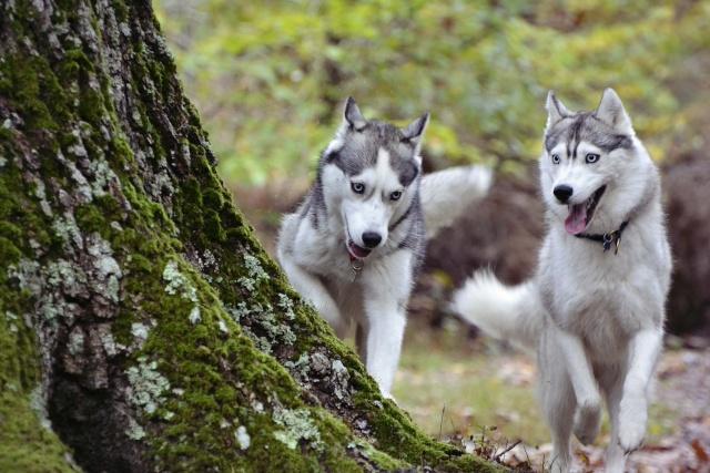 mes louves en forêt Automn14
