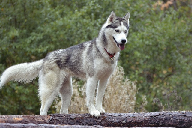 mes louves en forêt Automn19