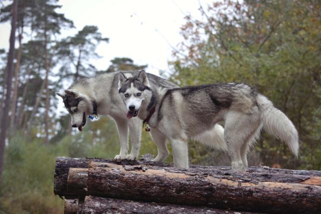 mes louves en forêt Automn20