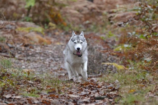 mes louves en forêt Automn21