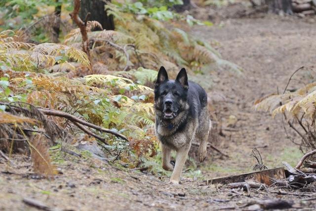 mes louves en forêt Automn24