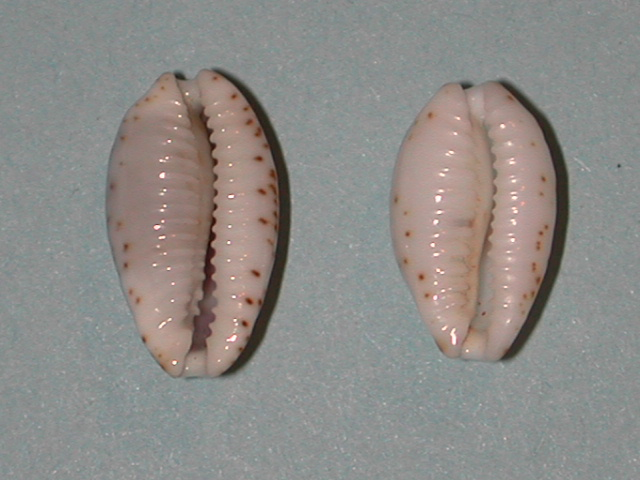 Bistolida piae - Lorenz & Chiapponi, 2005 Bistol11