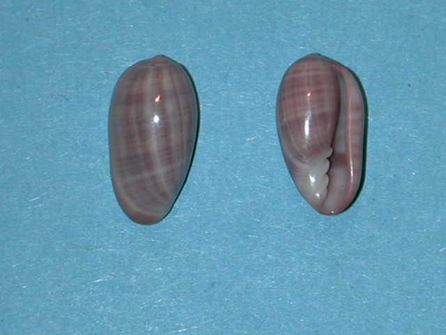 Marginella (Lamarck, 1799) - Pour les collectionneurs de Marginelles Crypto10