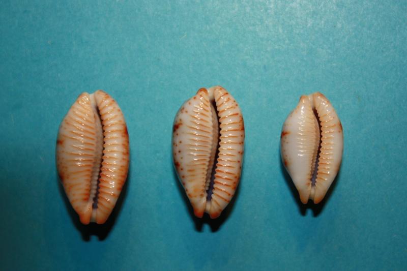 Bistolida stolida rubiginosa - (Gmelin, 1791) Cyprae23
