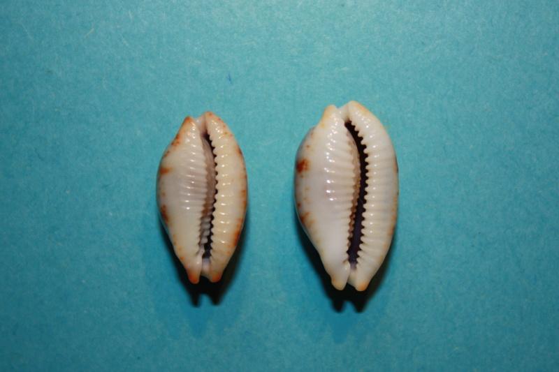 Bistolida stolida salaryensis - Bozzetti, 2008 Cyprae25