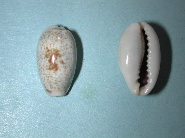 Erronea errones - (Linnaeus, 1758) - Forme d'Afrique Orientale Dscn4310