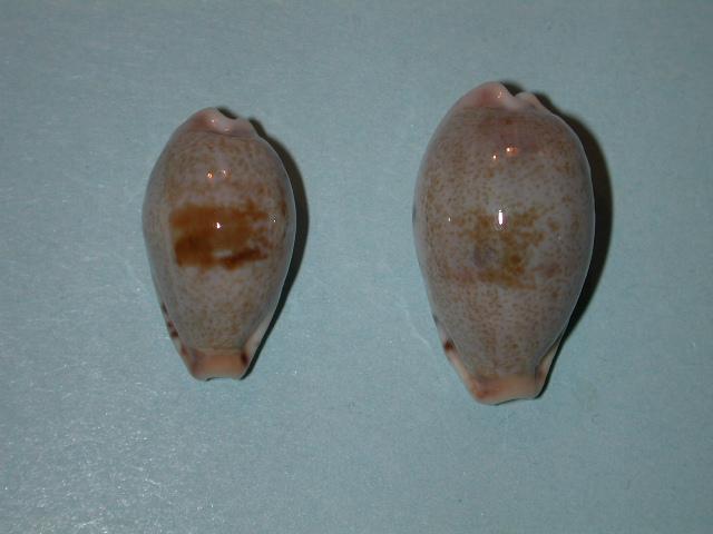 Erronea fernandoi - C. N. Cate, 1969 Dscn4311