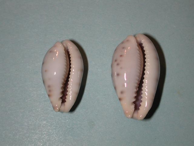 Erronea fernandoi - C. N. Cate, 1969 Dscn4412