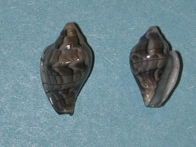 Marginella (Lamarck, 1799) - Pour les collectionneurs de Marginelles Glabel11