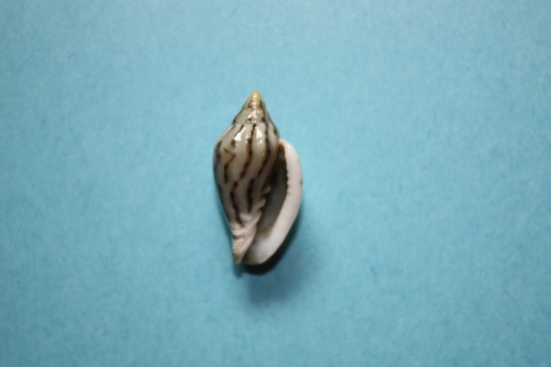 Marginella (Lamarck, 1799) - Pour les collectionneurs de Marginelles Glabel13