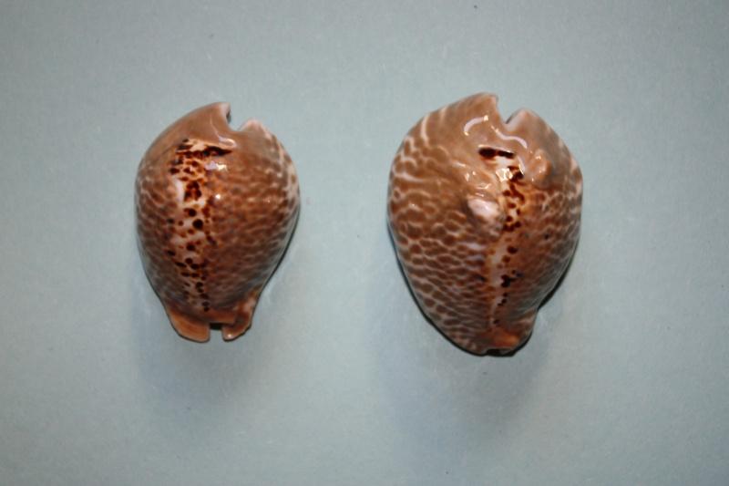 Muracypraea mus donmoorei - Petuch, 1979  Muracy17